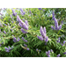 Vitex offers summer color in a small-growing tree