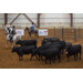 Low-stress cattle handling techniques featured at conference