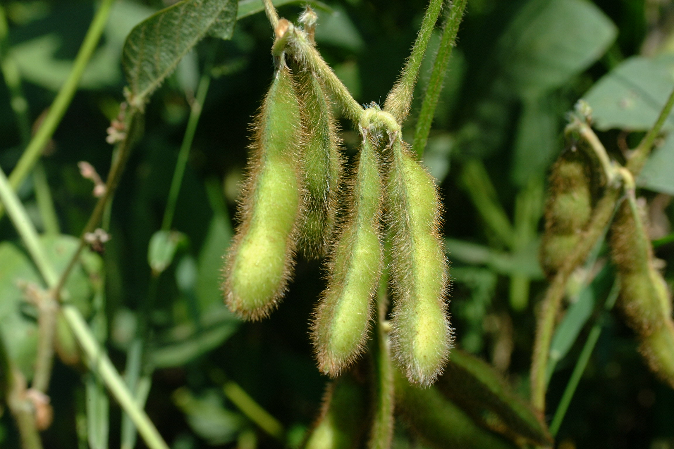 photo of soybean