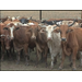 Rising Corn Prices Hurt Cattle Producers