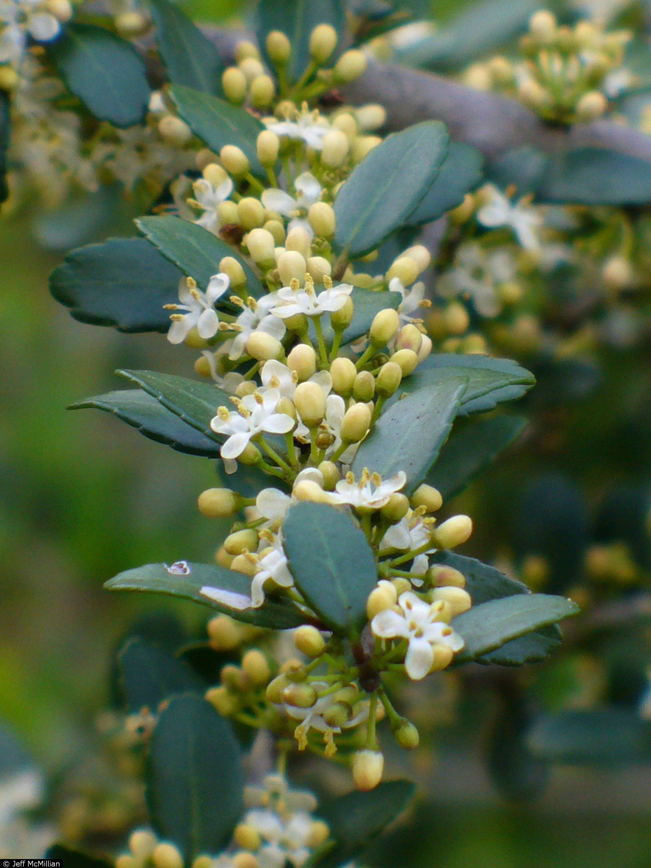 yaupon holly flowers.jpg thumbnail