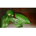 Satsuma Tree With Wooly Whitefly Infestation