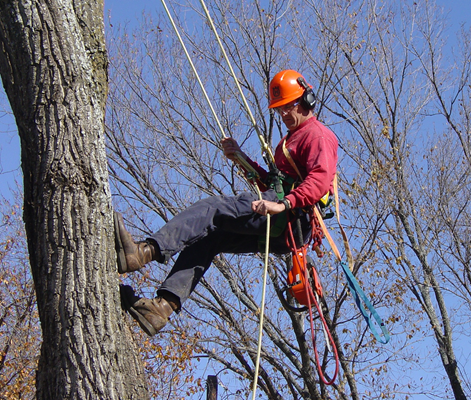 Arborist climbs a tree to prune a large branch.
