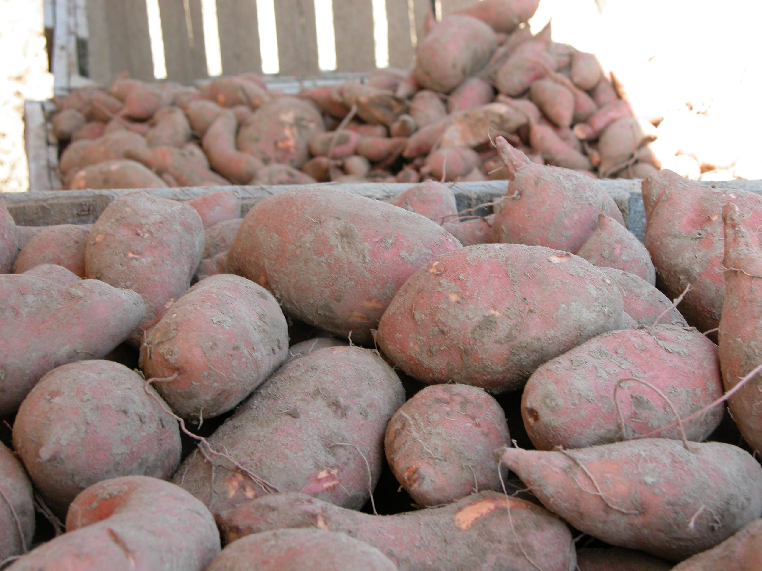 Sweet potato planting delayed by rain