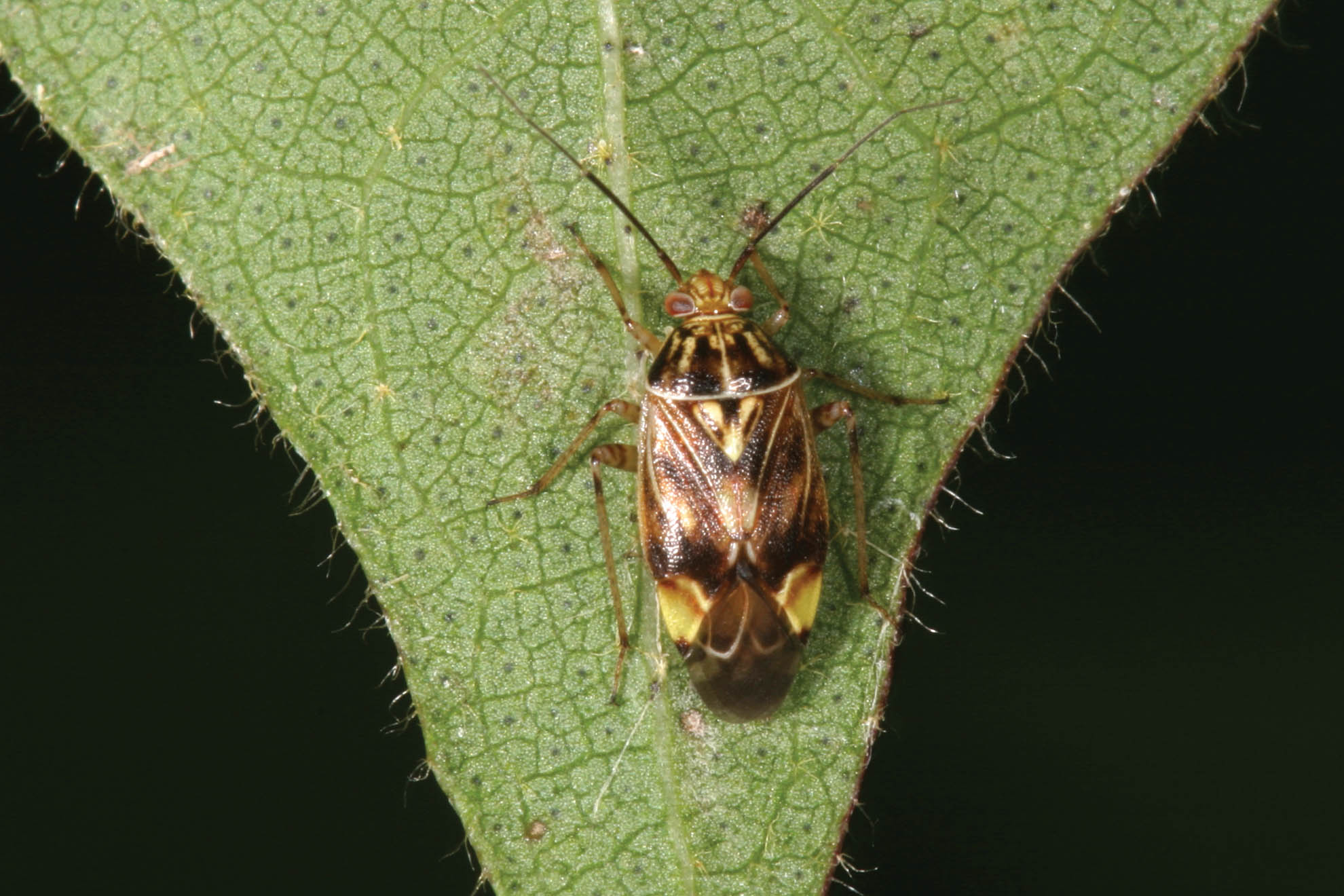 Photo of Tarnished plant bug on cotton.