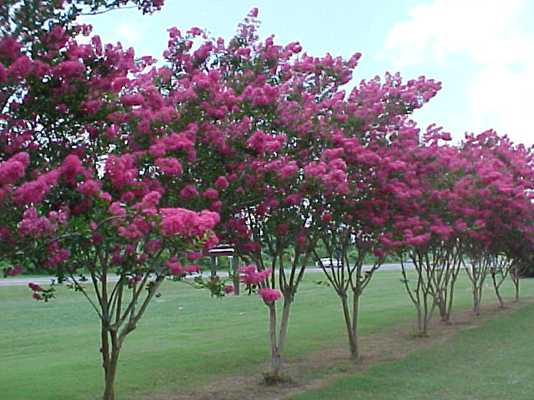 Photo of crape myrtle trees in bloom.