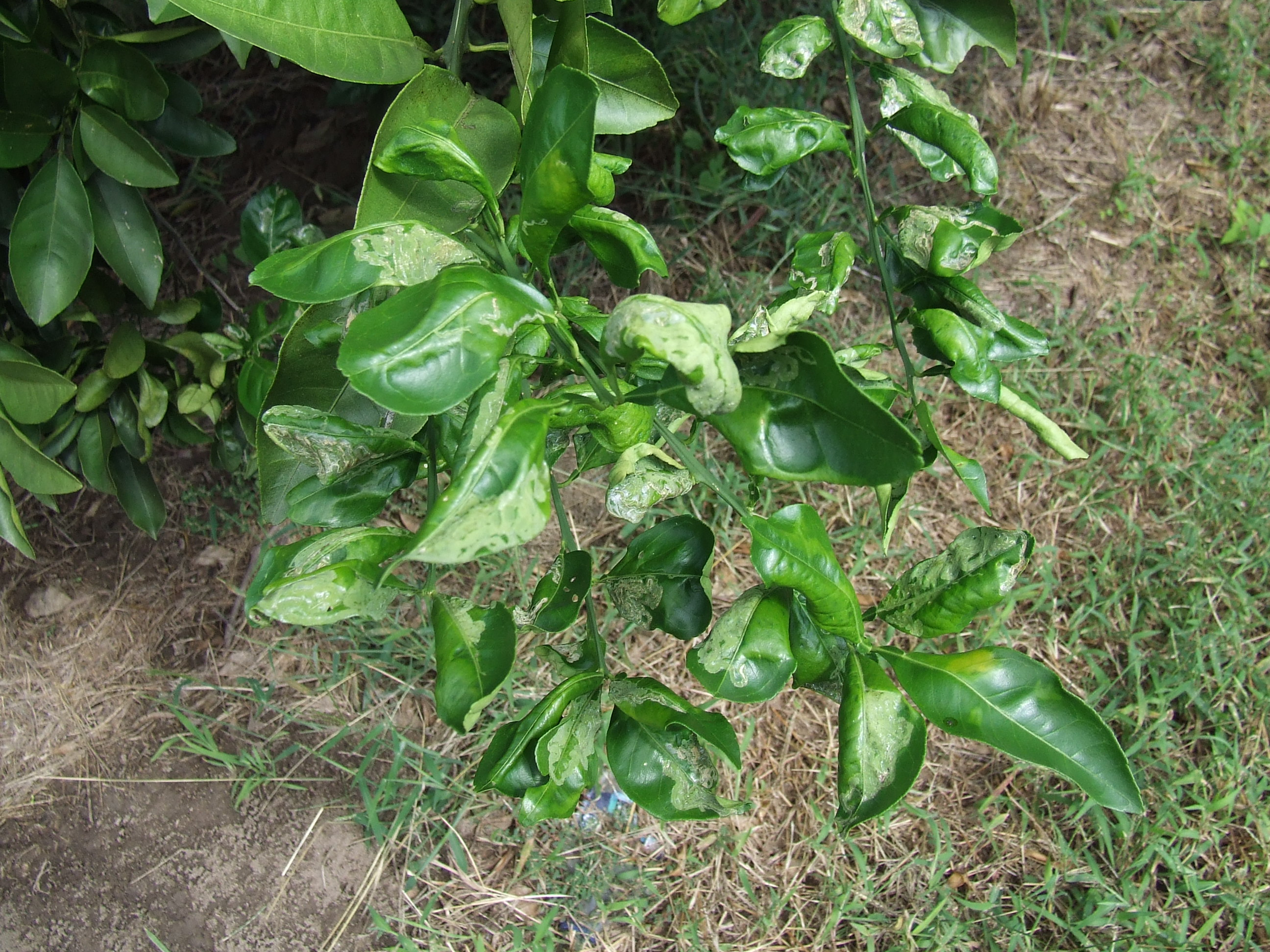 How to scout for the citrus leafminer