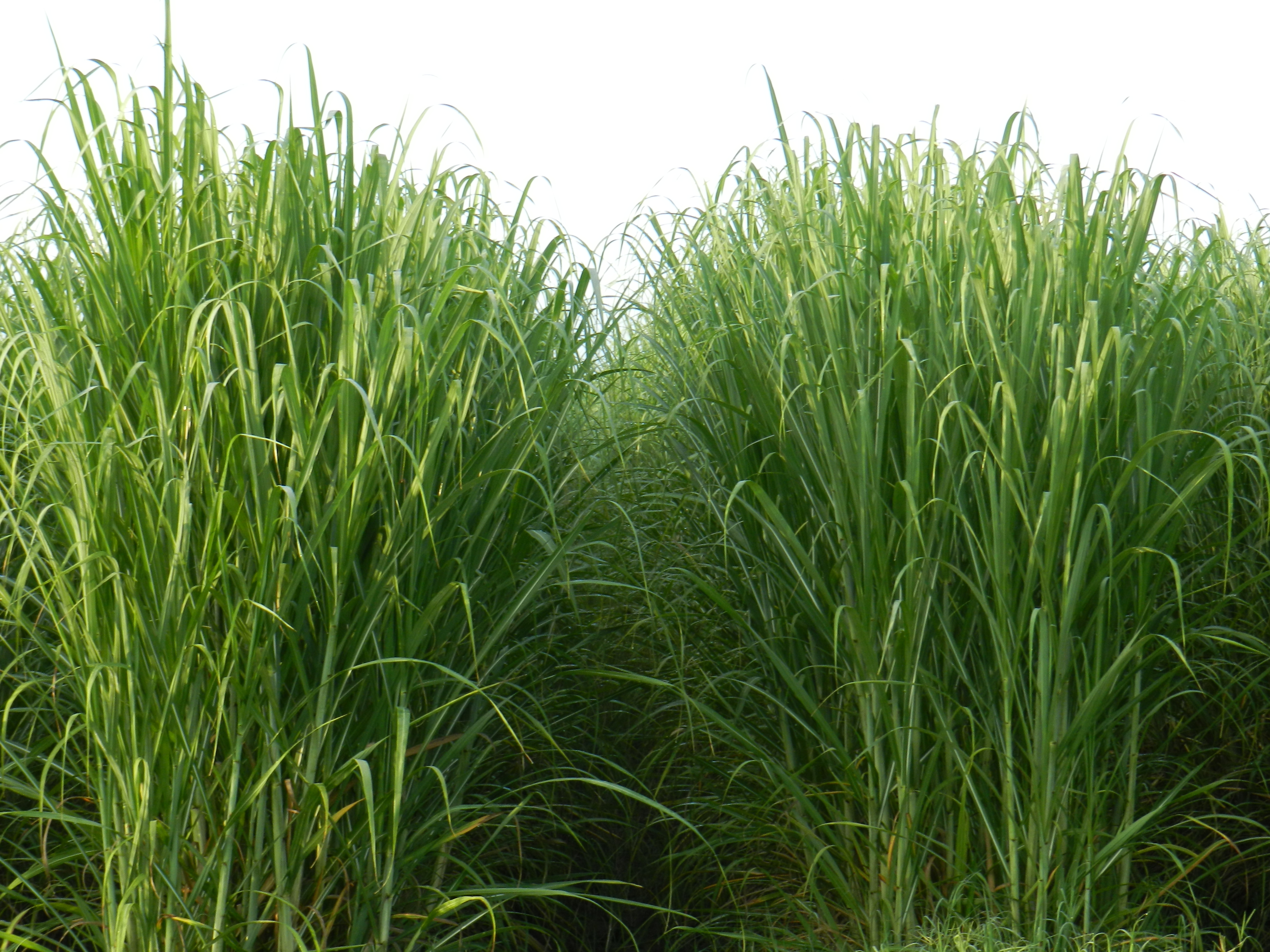 Sugarcane Variety Newsletter 2017