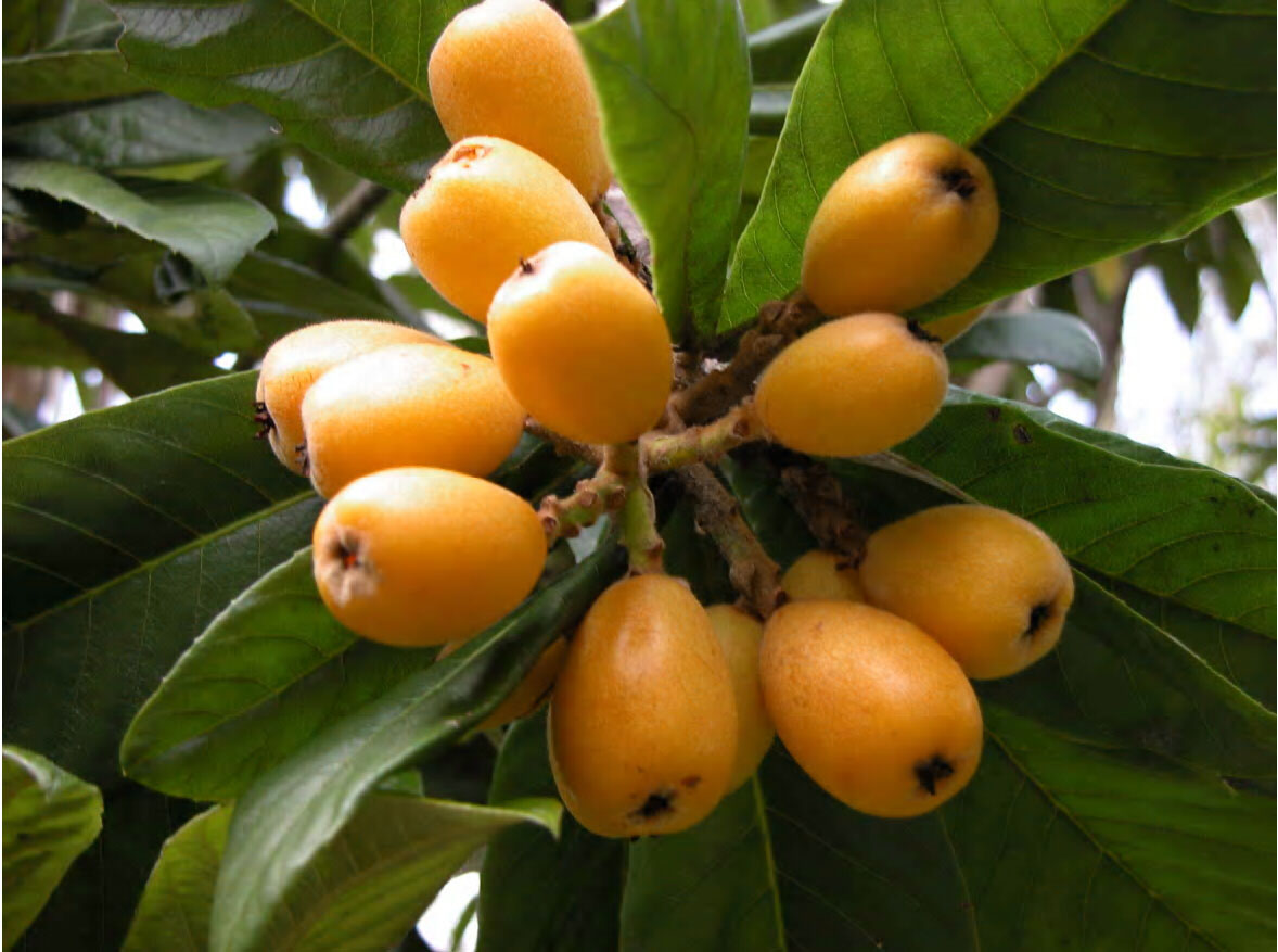Loquat tree with fruit.