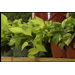 Pothos is tough tropical indoor plant