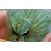 Southern green stink bug affects cotton fiber quality