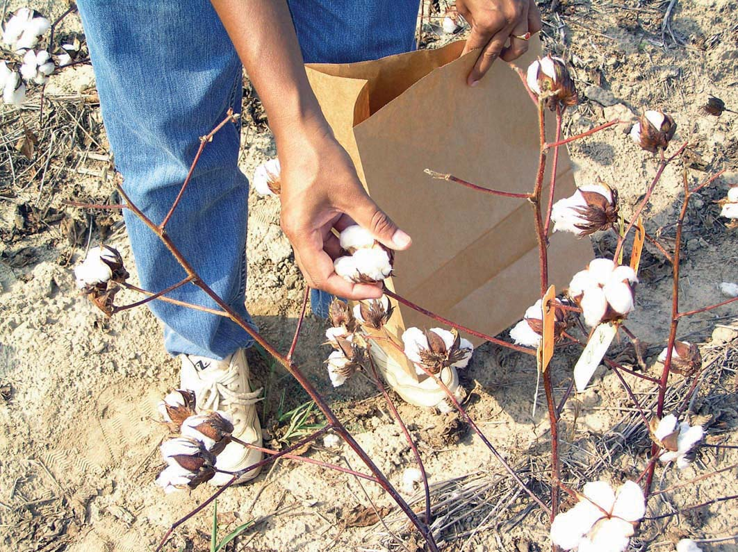 Mature cotton bolls were hand-harvested to determine cotton weights and for fiber analyses.