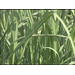 New Sugarcane Varieties Available To Growers