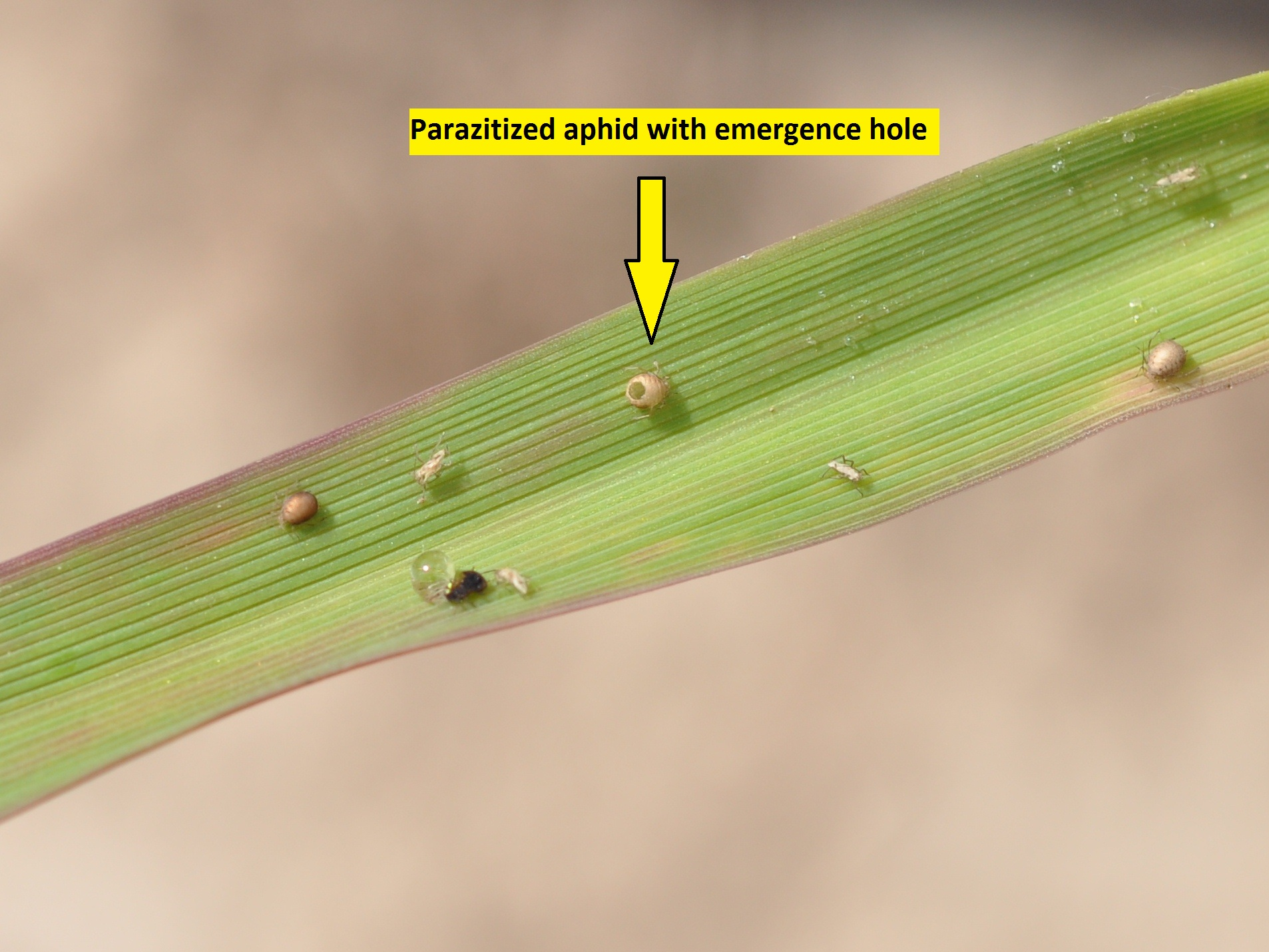 Aphids have several natural enemies.