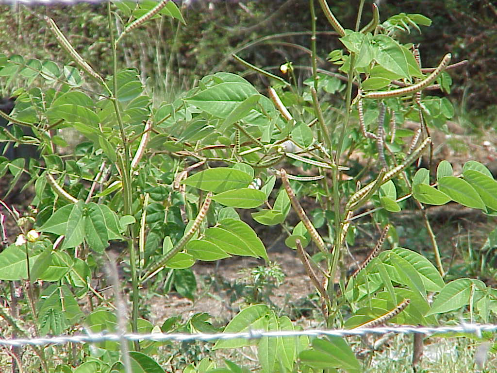 Poisonous Plants for Louisiana Livestock in the Fall