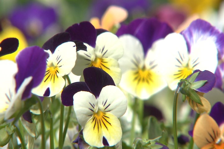 Sorbet violas, beautiful new Super Plant
