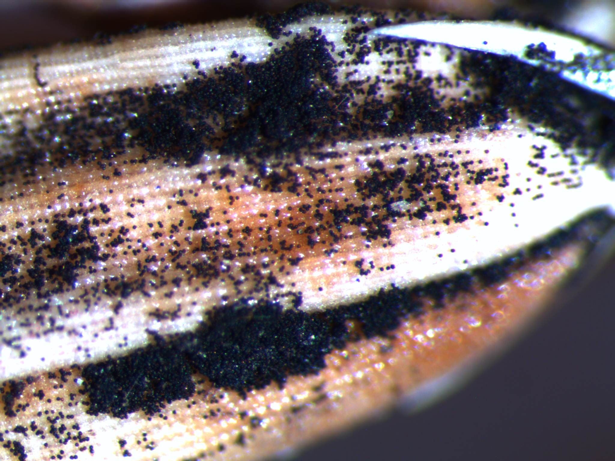 Spores oozing from grain