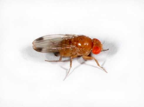 Spotted Wing Drosophila