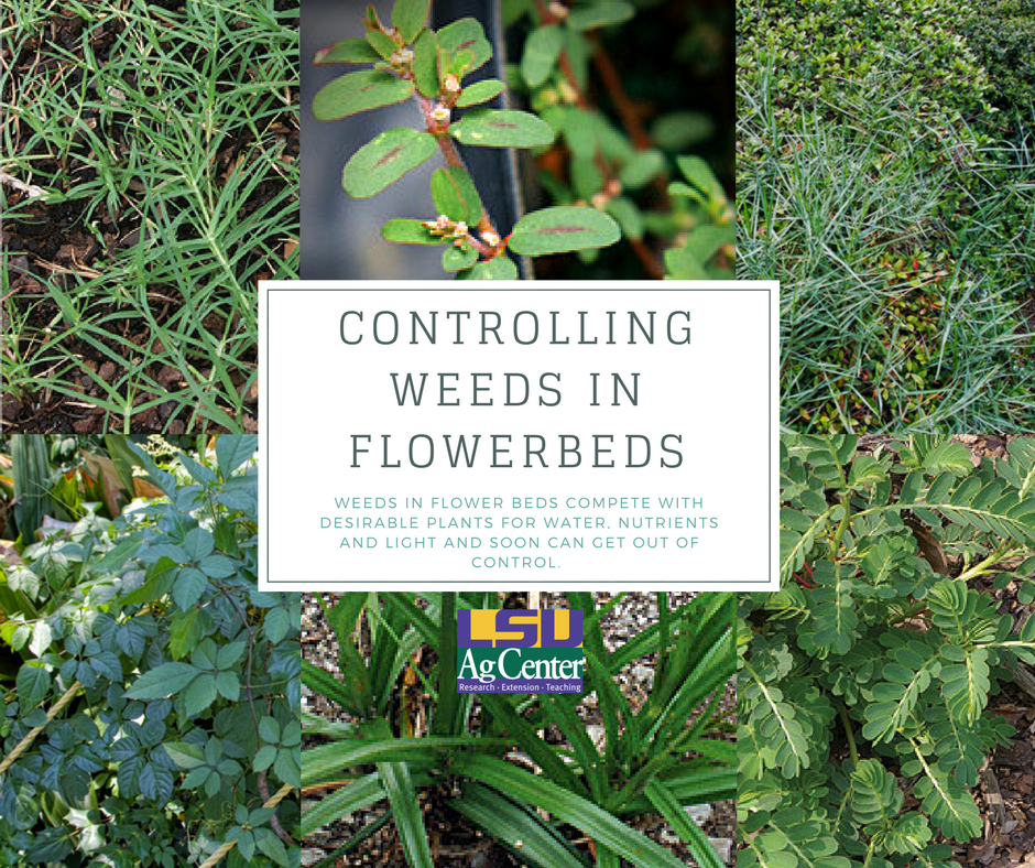 Controlling weeds in flowerbeds.png thumbnail
