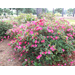 Planning for azaleas is important spring decision