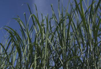 Sugarcane continues to withstand tough year