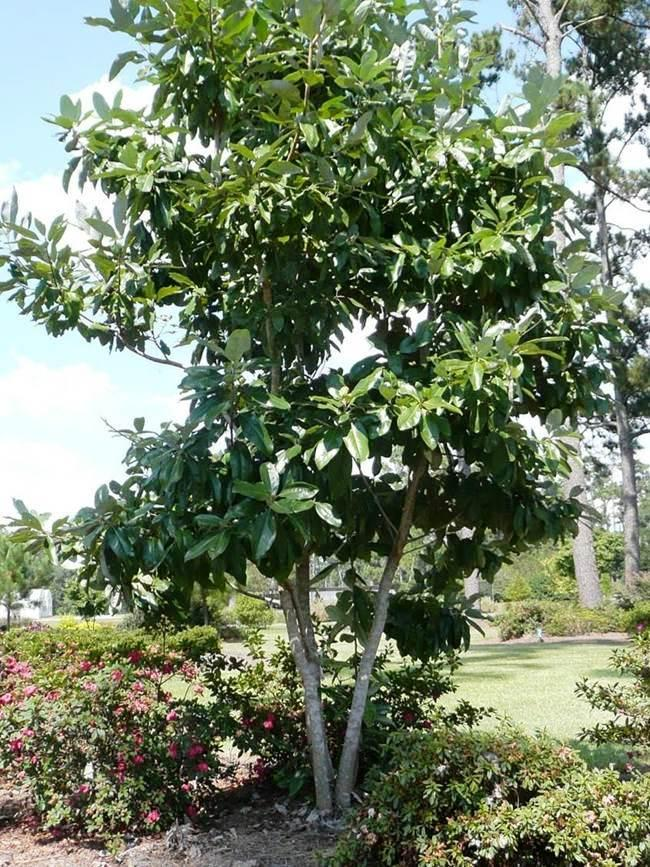Sweetbay Magnolia – Ornamental Plant of the Week for October 19 2015
