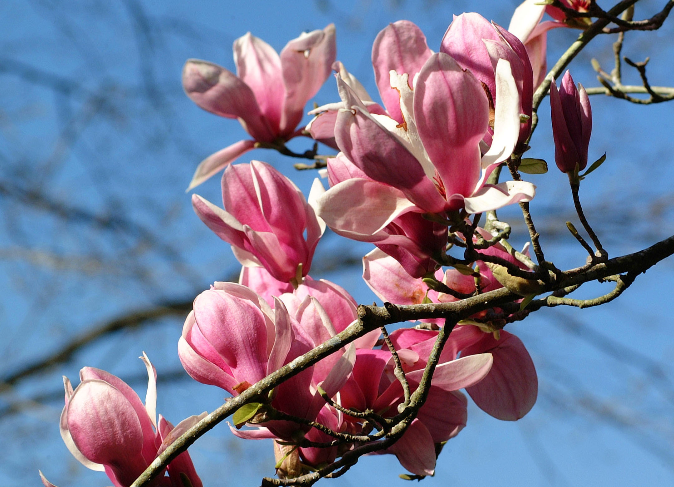 Enjoy flowering trees in late winter and early spring mightylinksfo