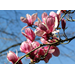 Enjoy flowering trees in late winter and early spring