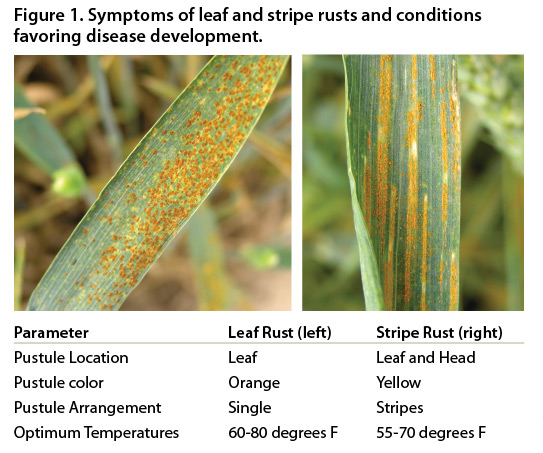 Disease Management in Louisiana Wheat