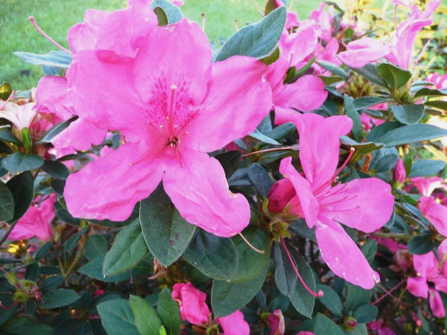 Encore Azalea – Ornamental Plant of the Week for October 12 2015