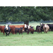 Cattle producer conference set for Oct. 4-5 in West Monroe
