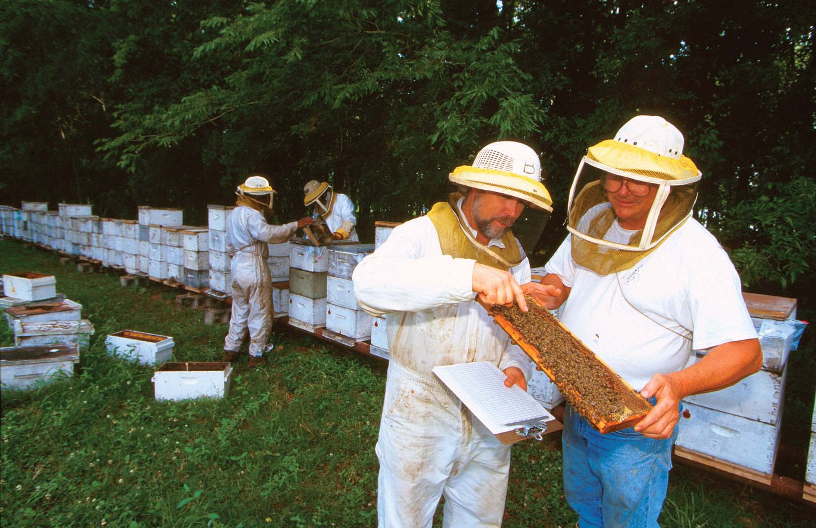 USDA-ARS research scientists examining colonies of Russian bees.