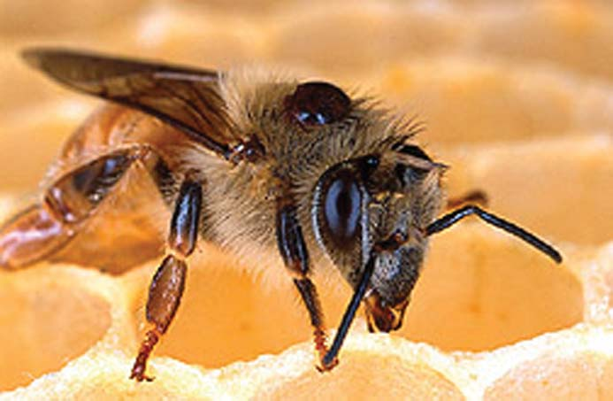 Adult parasitic Varroa mite on the back of a honey bee