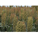 Grain sorghum helps control grassy weeds
