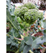 It's time to plant broccoli