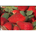 Freezing temperatures delay strawberry harvest