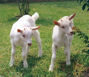 The world's first cloned transgenic goats
