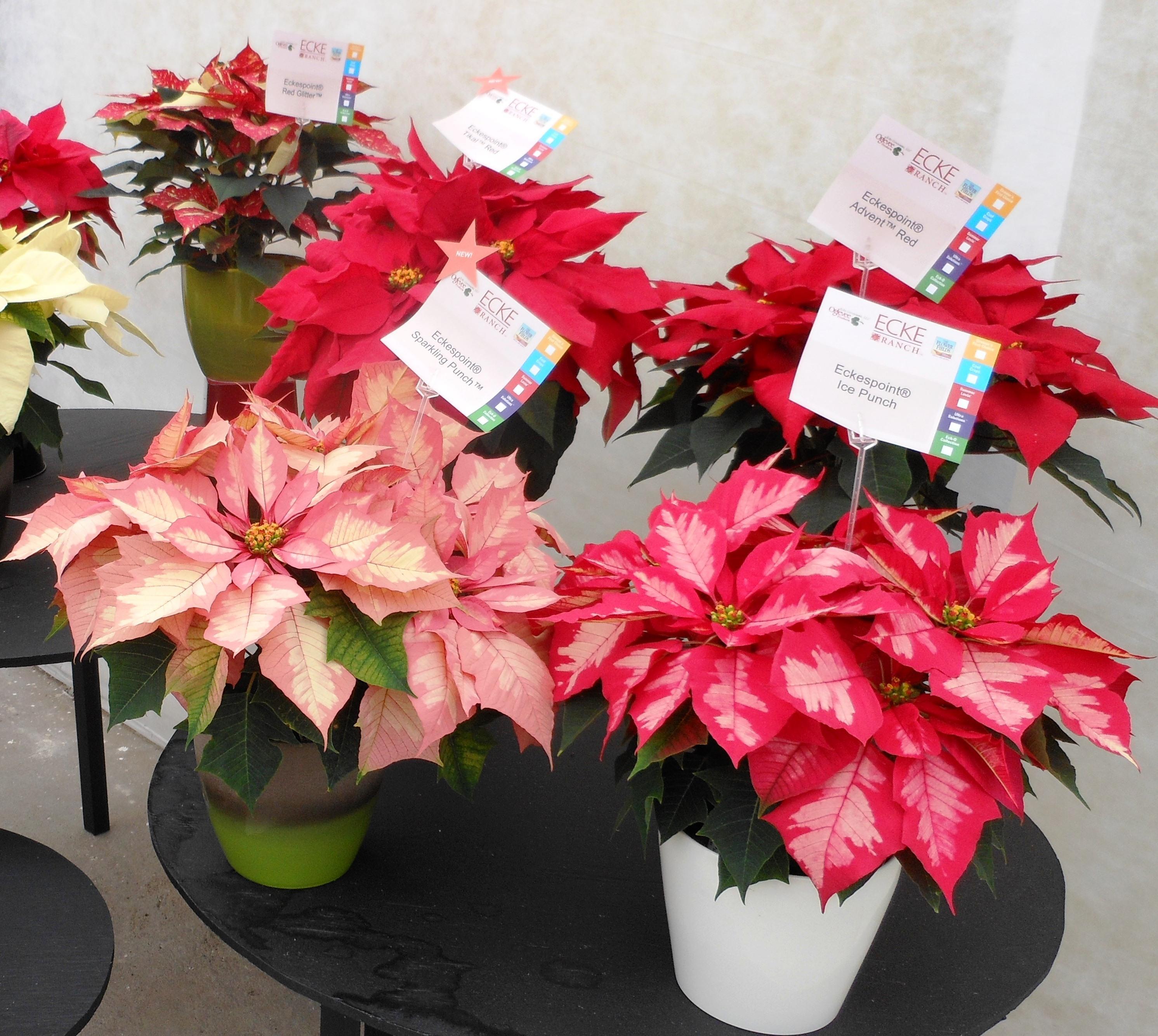 Proper Care Helps Poinsettias Thrive Through Holidays