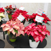 Proper care helps poinsettias thrive through holidays