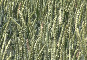 Louisiana wheat production down this year