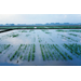Plant Growth Regulator Offers Advantages for Herbicide-tolerant Rice