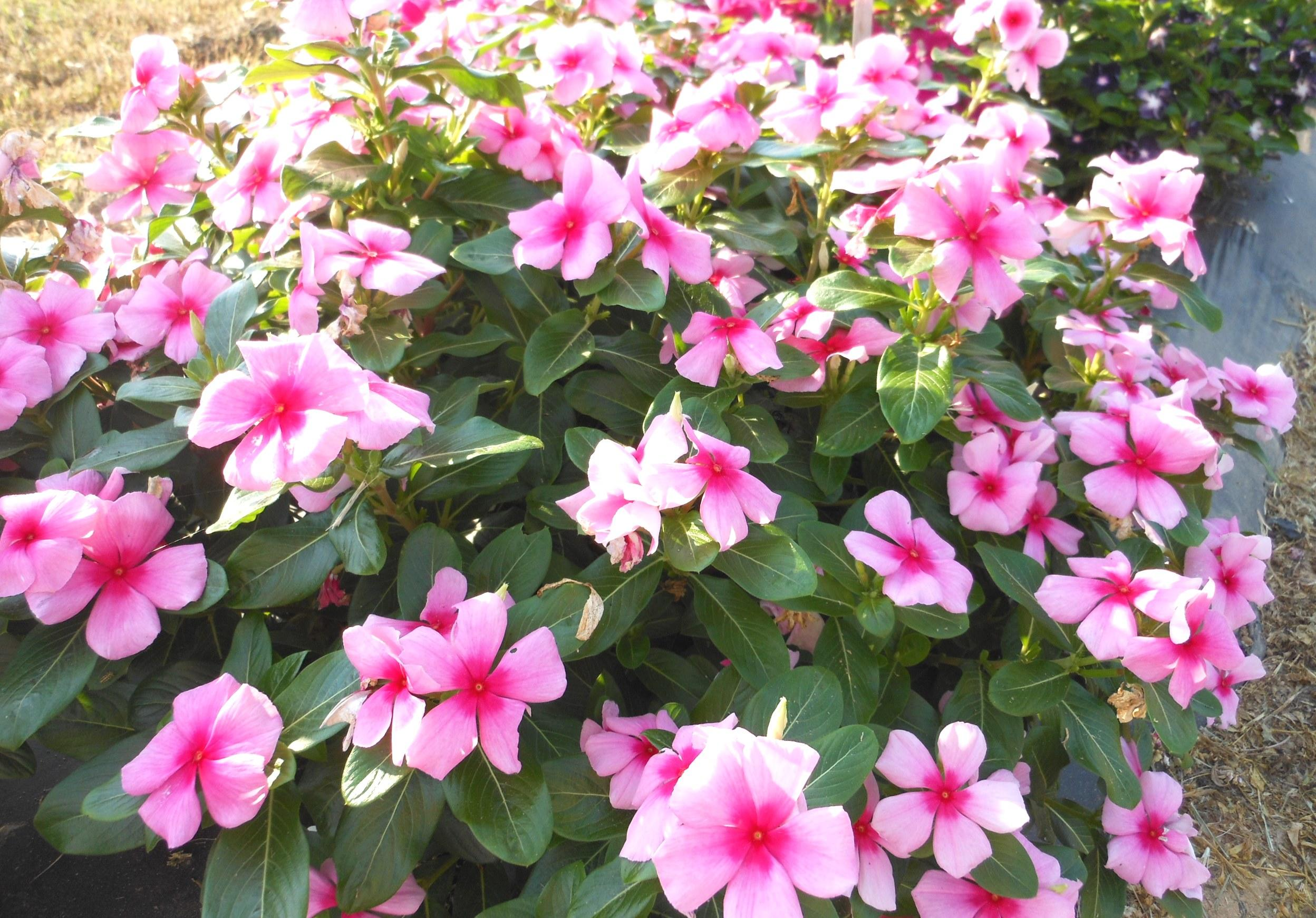 Cora and Nirvana Vinca – Ornamental Plants of the Week for June 15, 2015