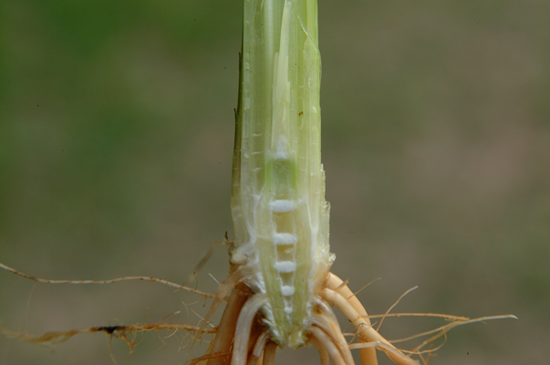 Understanding of Growth Stages is Critical in Rice Production