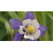 Columbine offers gorgeous flowers through spring