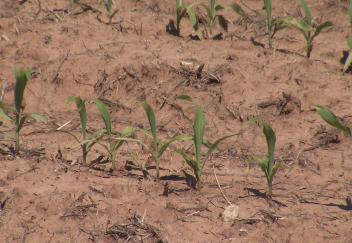 Smaller corn crop expected this year