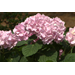 Super Plant Penny Mac hydrangea reblooms throughout summer
