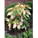 Copper Plant – Ornamental Plant of the Week for May 25, 2015