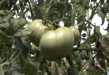 Tomatoes bring community together