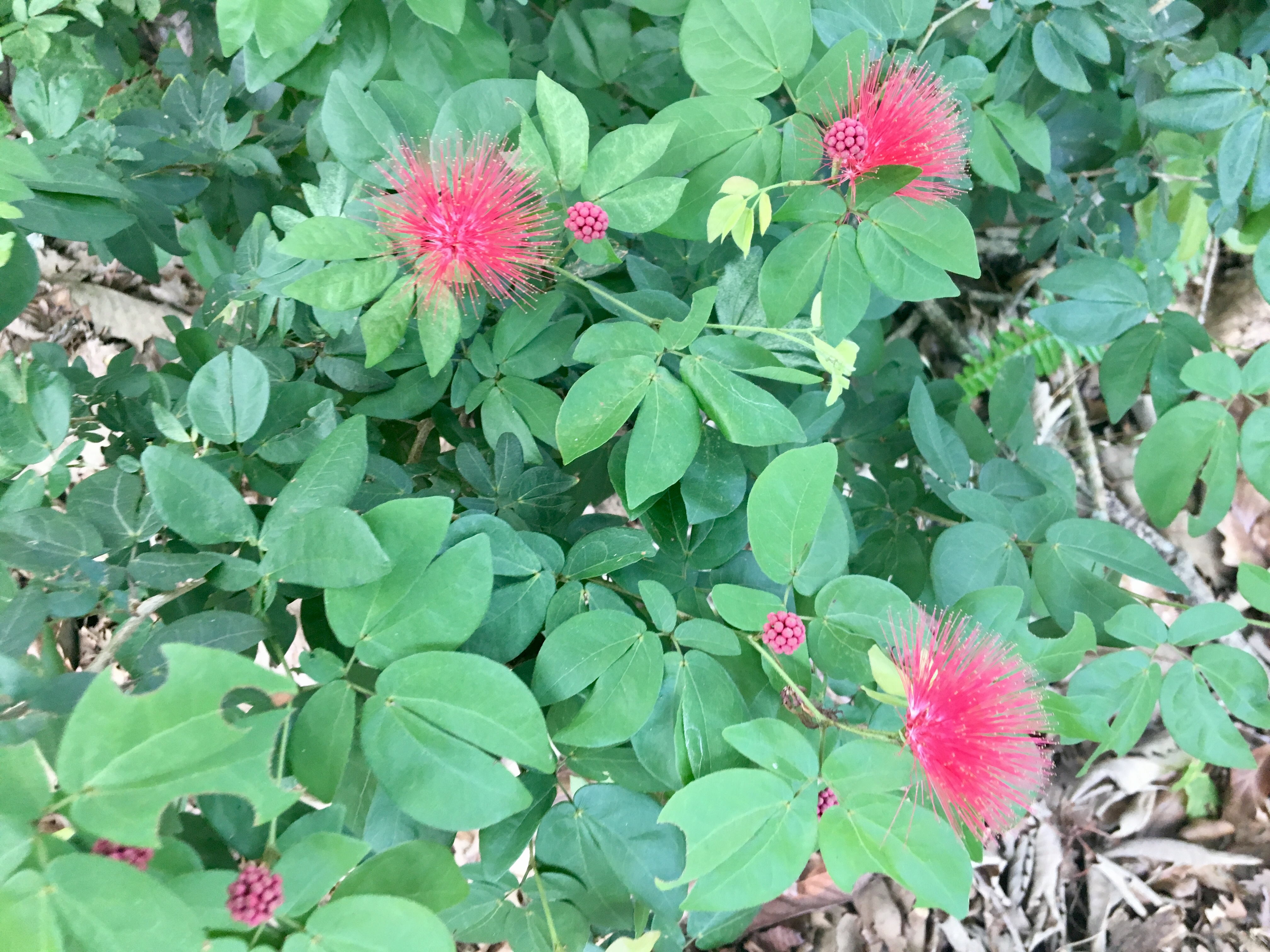 Red Powder Puff Plant Nana.JPG thumbnail