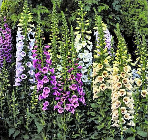 Camelot Foxgloves - Louisiana Super Plant Fall 2010